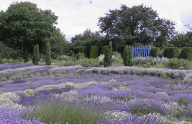 Visit these beautiful gardens and walk among the Lavender flowers, with their many colours and heady scents.